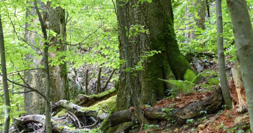 Foto: Wald in Rumänien, Prof. Dr. Hans Dieter Knapp